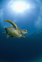 Asia, Philippines, pacific ocean, Dimakya Island, Club Paradise, Palawan, Green sea turtle, turtle, against sunlight ( Chelonia mydas )