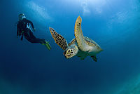 Asia, Philippines, pacific ocean, Dimakya Island, Club Paradise, Palawan, diver with a Green sea turtle, turtle, against sunlight ( Chelonia mydas )