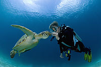Asia, Philippines, pacific ocean, Dimakya Island, Club Paradise, Palawan, diver is feeding a Green sea turtle, turtle, against sunlight ( Chelonia mydas )