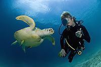 Asia, Philippines, pacific ocean, Dimakya Island, Club Paradise, Palawan, diver is feeding a Green sea turtle, turtle, against sunlight, ? ( Chelonia mydas )