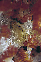 Africa, Egypt, Red Sea, Sinai, Sharm el Sheikh, soft coral crab in red and yellow softcoral, red sea, egypt, brother islands, by night, invertebrates ( klunzingers softcoral )