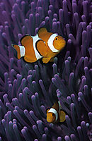 clownfishes in purple anemone, Clownfische, Amphiprion ocellaris, Anemonefish, Anemonenfisch, Clownfisch, clownfish, Indic, indic ocean, Mabul, Malaysia, purple, Western clownfish, Westlicher Clownfisch