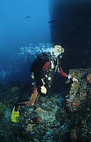 Asia, Irian Jaya, West Papua, Indonesia, Indiana Jones Reef, diving, current dive, diver in the heavy current, bubbles goes down, holding on the coral reef, hard current, panic, panicky, panic-fuelled