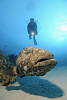 Africa, egypt, red sea, diver with snout-spots grouper, marbled grouper, Camouflage grouper, behind, coral reef, corals, dive, red sea, Hamata, Egypt, ( Epinephelus polyphekadion, Epinephelus )