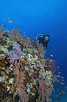 Africa, south egypt, red sea, diver over colorful softcoral reef with juwel fairy basslet, klunzingers soft coral block, Shaab Sharm, Middle East ( Pseudanthias squamipinnis, Dendronephthya klunzingeri )
