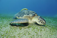 Africa, egypt, red sea, Green sea turtle feeding on seaweed, sea grass at the Abu Dabab lagoon, south egypt, turtle with a Striped remora on her back ( Chelonia mydas, Echeneis naucrates )