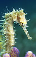 Africa, egypt, red sea, Dahab, Sinai pennincula, Happy Life, Thorny seahorse in sea grass, green, gelb, seaweed, reef, coral, purple, pink ( Hippocampus hixtrix, Syngnathidaeface of a thorny seahorse at a pink coral, eye, snout, red sea, egypt, dahab, treble pools, Hippocampus jayakari, Syngnathidae )