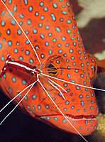 Africa, egypt, red sea, Coral Garden, Safaga, Coral grouper at a cleaning station with a cleaner shrimp, Cleaner shrimp, red Coral grouper at a cleaning station with a cleaner shrimp ( Cephalopolis miniata, Lysmata amboinensis )
