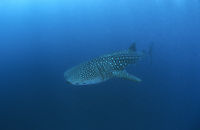 Africa, Mozambique, Inhambane, Tofo, whale shark coming from the deep, Outer reef, blue ocean, deepblue, plankton eater, open sea ( Rhincodon typus, Rhincodontidae )