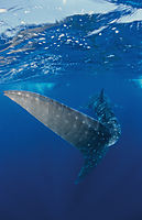 Africa, whaleshark at the blue at Tofo, Inhambane, Mozambique,  Outerreef, indic ocean, biggest shark, fin, failfin, caudal ( Rhincodon typus,  Rhincodontidae )