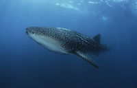 Africa, whaleshark at the blue at Tofo, Inhambane, Mozambique,  Outerreef, indic ocean, biggest shark ( Rhincodon typus,  Rhincodontidae )