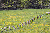 Europe, Italy, South Tyrol, Trentino-Alto Adige, Eisack Valley, dandelion, yellow flower, meadow, grassland with yellow flowers with wooden fence close to the forest ( Taraxacum sect. Ruderalia )