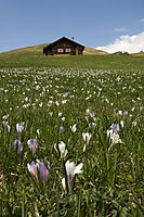 Europe, Italy, South Tyrol, meadow saffron, naked lady Trentino-Alto Adige, Eisack Valley, flowers, spring, springflowers at Seiser Alp ( Colchicaceae, autumn crocus, Colchicum, Liliopsida, Colchicum autumnale, Liliidae, Liliales )