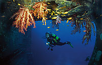 Africa, Egypt, Red Sea, Safaga, bay of Safaga, diver at the Salem Express ship wreck, Diver underneath softcorals, corals, colorful, wonderful, red, orange ( Dendronephthya klunzingeri, Nephtheidae )