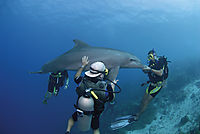 America, Carribean, Curacao, Netherlands Antilles, Dutch,  diving, dive with dolphins, dolphin, coastal bottlenose dolphin, diver behind a dolphin, along the reef ( Tursiops truncatus, Delphinidae )