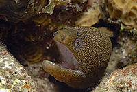 America, Curacao, Netherlands Antilles, All West Curacao, Golden moray, Goldentail moray eel ( Muraenidae, Gymnothorax miliaris )