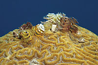 America, Curacao, Netherlands Antilles, All West Curacao, Christmas Tree Worms, segmented worms, invertebrates ( Spirobranchus giganteus, Annelida )