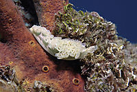 America, Curacao, Netherlands Antilles, All West Curacao, nudibranch on a sponge, invertebrates