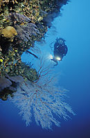 Asia, Malaysia, Borneo, Sabah, East Malaysia, Layang Layang, diver close to a giant sea fan ( Melithaea sp. )