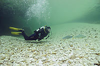 Europe, Slovenia, Alps, freshwater diving, diver looks at two Greyling, freshwaterfish ( Thymallus, Thymallinae )