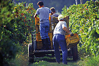 Europe, Slovenia, Koper, grape harvest, harvesting graps, vintage
