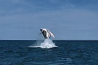 Oceania, New Zealand, South Pacific, Kaukoura, Humpback whale is jumping out of the water, french polynesia