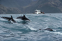 Oceania, New Zealand, South Pacific, Kaikoura, Dusky Dolphins, Dolphins, jumping in front of a Touristboat ( Lagenorhynchus obscurus, Lagenorhynchus, Delphinidae )