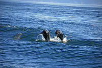 America, Costa Rica, pacific coast, Playa del Coco, bottlenose dolphins, Deep Blue Diving, dolphin group, dolphins above surface, dolphins behind diving boat, dolphins have fun ( Delphinidae, Tursiops gillii, Tursiops truncatus )