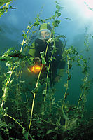 Europe, Germany, Bavaria, freshwater, leaf pondweed, diver in coldwater, algea, algas ( Potamogeton, Potamogetonaceae )