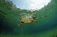 Europe, Germany, Bavaria, freshwater, coldwater, swimming dog in the Isar springs retrieve a piece of wood, landanimal