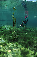 Europe, Germany, Bavaria, Lenggries, snorkeler in the isar springs, freshwater, fresh water, coldwater, algea, algas