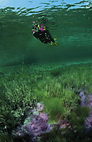 Europe, Germany, Bavaria, Lenggries, snorkeler in the isar springs, freshwater, fresh water, coldwater, pink, purple, algea, algas