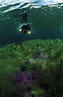 Europe, Germany, Bavaria, freshwater, fresh water, coldwater, green and purple algea, algas, snorkeler with video