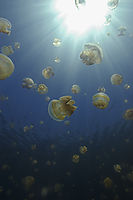 Asia, Republic of Palau, Jellyfishlake, stingless jellyfish at backlight, Eil Malk, Rock Islands, Endorheic, Meromictic lake, hydrogen sulfide, Pacific, invertebrates ( Aurelia sp., Catostylus )