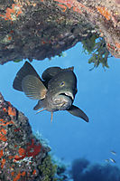 Mediterranean Sea, Grouper, Dusky grouper, brown fish ( Epinephelus marginatus, Serranidae )