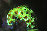 Black-Light; Fluoresce hard coral, shining Corals; glowing Coral by night, luminescent, luminescence,  fluorescenc corals, Palau, Koror Bay, Republic of Palau, fluorescents