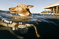 Asia, Indonesia, West Papua, Raja Ampat, swimming dog in front of the Papua Paradise Eco Resort, split image, splitimage