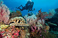 diver in a colorful coral reef, coralreef, yellow sweeper at a colorful softcoral reef, soft coral, fish ( Parapriacanthus ransonneti, Perciformes )