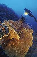 Asia, Malaysia, Sabah, Borneo, Layang Layang island, swallow island, diver behind a fan coral, red gorgonia, drop-off