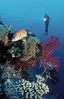 Asia, Malaysia, Sabah, Borneo, Layang Layang island, swallow island, drop-off, diver behind a red fish, giant squirrelfish ( Holocentridae, Sargocentron spiniferum )