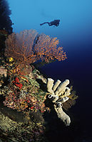 Asia, Malaysia, Sabah, Borneo, Layang Layang island, swallow island, drop-off, diver behind a red fan coral, gorgonian