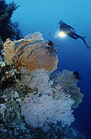Asia, Malaysia, Sabah, Borneo, Layang Layang island, swallow island, drop-off, diver at a colorful coral reef, wall, gorgonia, fan coral