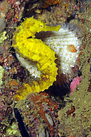 Asia, Philippines, yellow Tiger tail seahorse, fish ( hippocampus comes, Syngnathidae )