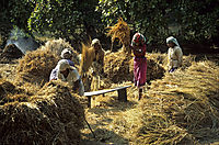 Asia, India, women dreshing reis at the field, farmers wife, harvest, harvesting reis