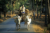 Asia, India, farmer, old man with ox cart, white cows
