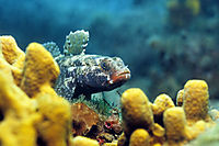 Mediterranean Sea, adriatic sea, Red-mouth Goby, yellow sponge, Mediterranean Sea, fish ( Gobiidae, Gobius cruentatus )
