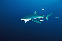 Europe; Portugal; Azores; ocean; condor banks, blue shark, pelagic shark with pilot fish, fish ( Carcharhinidae, Prionace glauca )