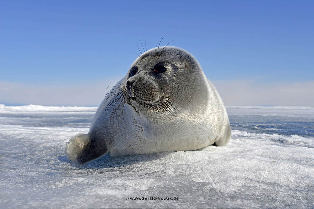 Nerpa Seals am Baikalsee